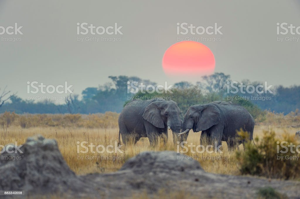 Two elephants with sunset behind. stock photo