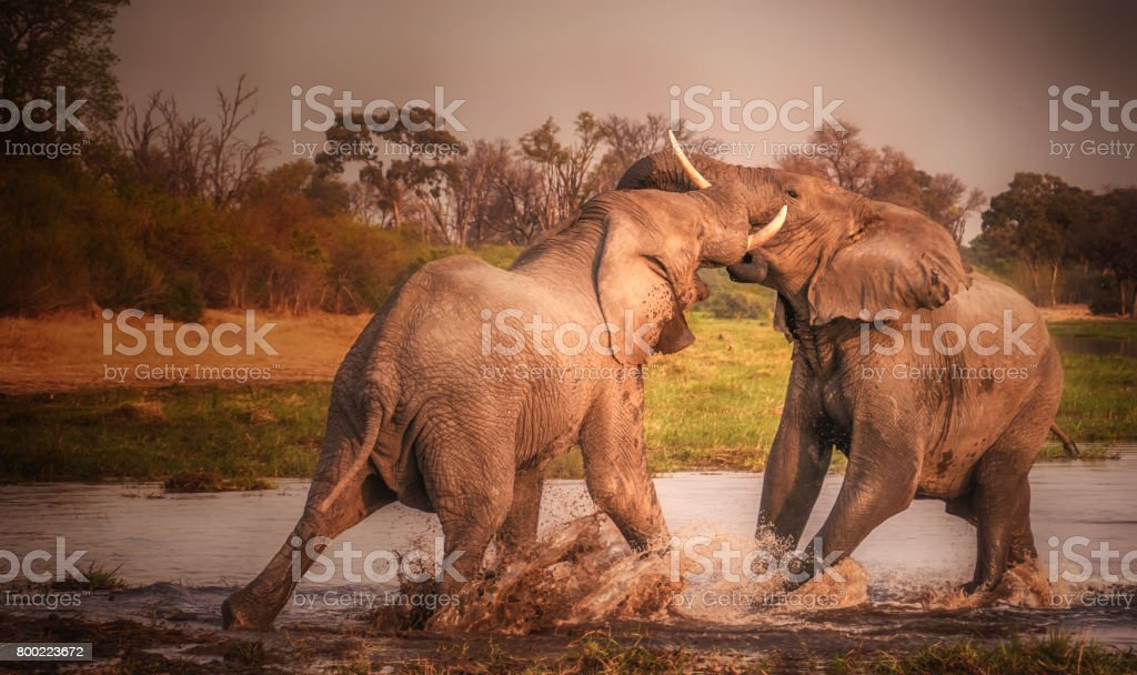 Two elephants with tusks fighting and splashing in the Khwai River, Botswana. stock photo