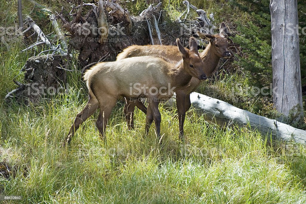 Two elk calves in the forest royalty-free stock photo