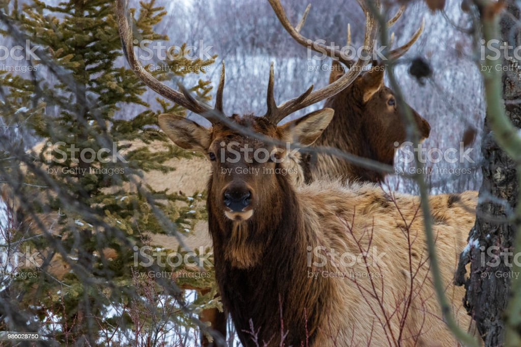 Two Elk in a forest. stock photo