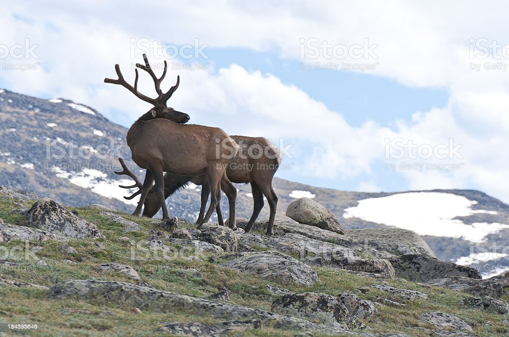Two Elk in Rocky Mountain National Park  Trail Ridge Road stock photo