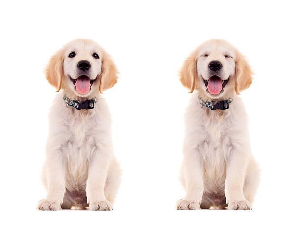 Two emotional poses of a cute puppy picture id481568961?b=1&k=6&m=481568961&s=612x612&w=0&h=g3jcjbcul2ggzbco a7vxn4uxtaxd9efsu2kwsmkgbo=