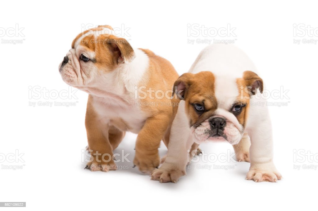 Two English Bulldog Puppies Playing In Front Of A White