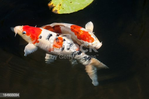 Two koi fish in a lily pond