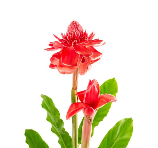 twee curcuma elatior (rode fakkel gember bloem) met bladeren geïsoleerd op een witte achtergrond, met uitknippad - torch lily stockfoto's en -beelden