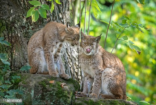 Pair of Eurasian lynxes sitting on a rock.