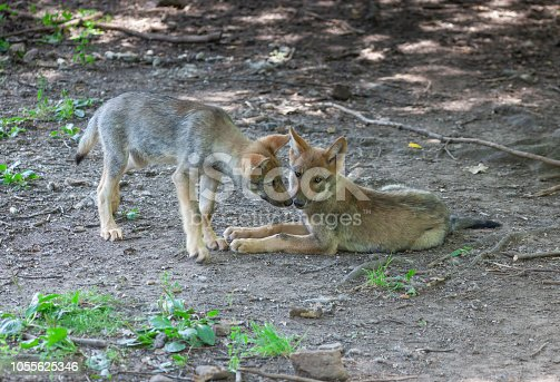 Two eurasian wolf cubs (Canis lupus lupus) relaxing in a forest.