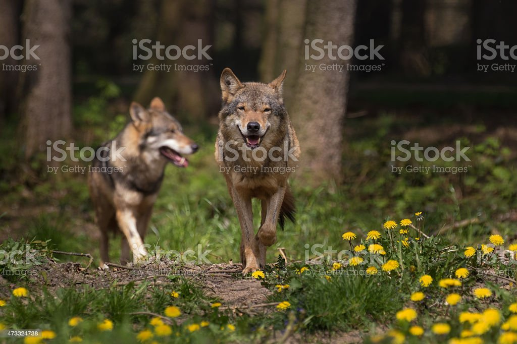 Two Eurasian Wolfs appearing from the woods stock photo