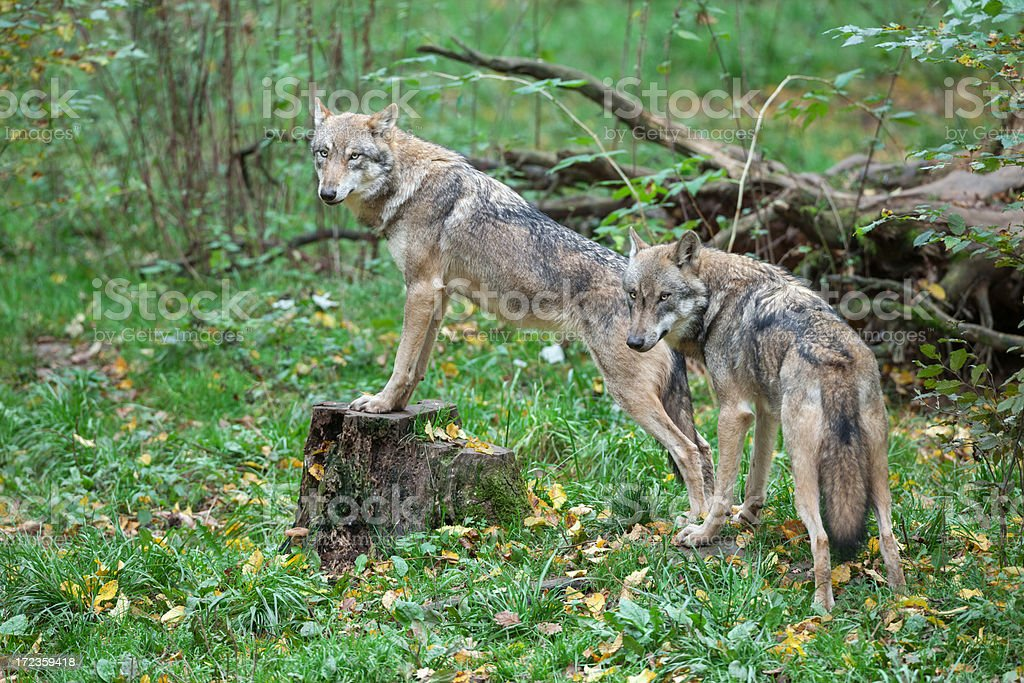 Two Eurasian wolves (Canis lupus lup.) royalty-free stock photo