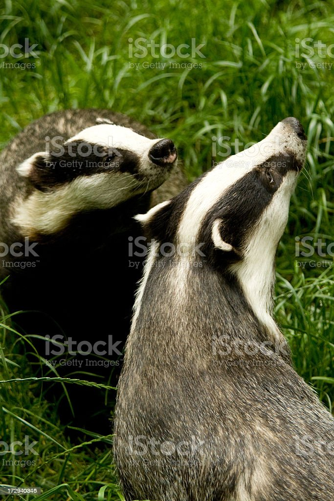 Two European Badgers playing in grass portrait image royalty-free stock photo