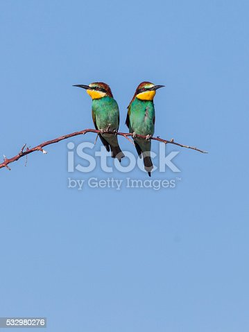 Two beautiful European Bee-eaters (Merops apiaster), perching on an arching twig, looking in opposite directions.
