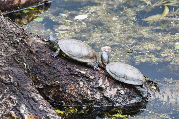 two european pond turtles sunbathing on a lo - pone stock photos and pictures