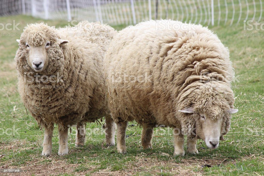 Two Ewes stock photo