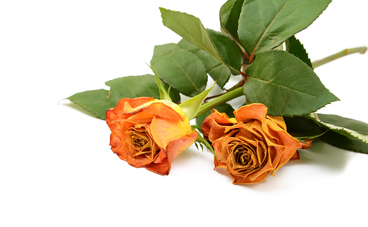 Two faded orange rose flowers on leafy stems