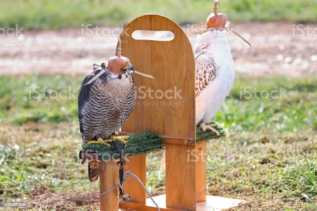 Two falcons stock photo