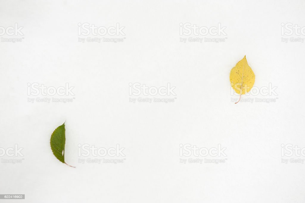 two fallen leaves lie on the snow stock photo