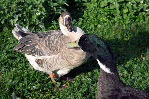 Two farm birds, brown goose and drake with green head stock photo