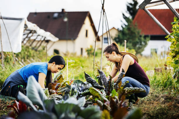 Two Farmers Carefully Maintaining Organic Crops By Hand stock photo