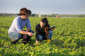 Two farmers squatting in soybean field and checking plant quality