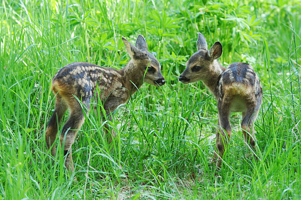 Two fawns stock photo