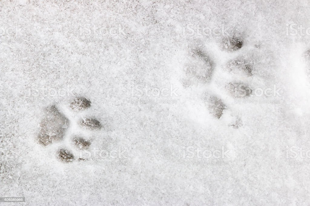 two feline footprints in the snow stock photo