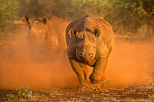 istock Two female black rhinos charging towards the game vehicle 1220951851
