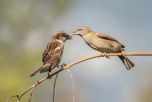 Battle between two female House Sparrow (Passer domesticus) on a branch. Angry birds.