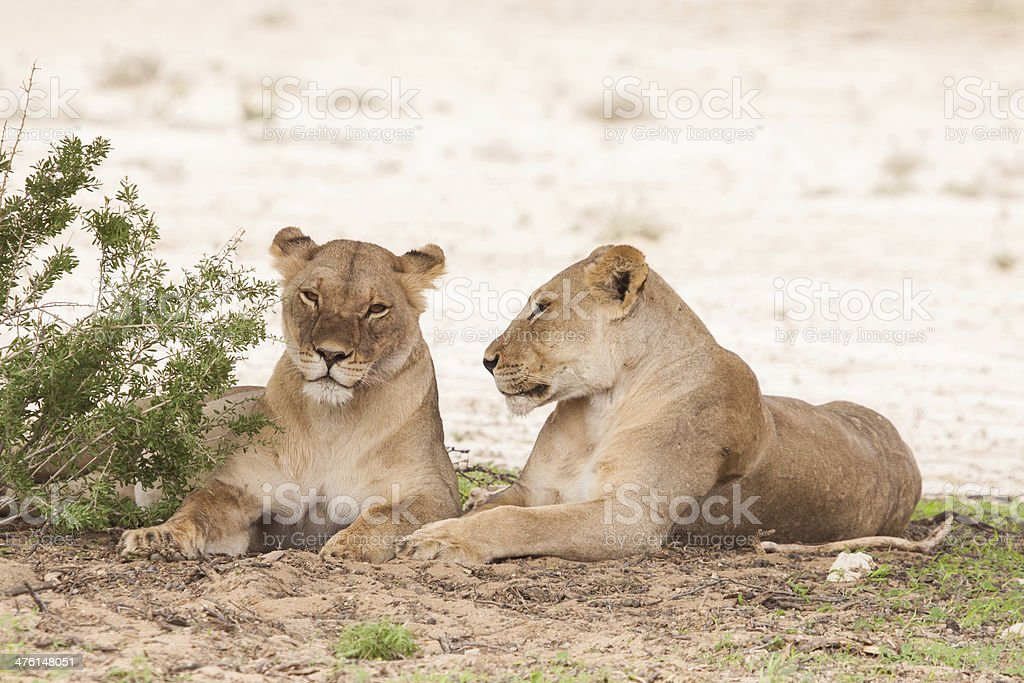 two female lions royalty-free stock photo