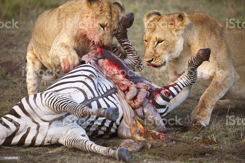 Two female lions tearing dead zebra stock photo