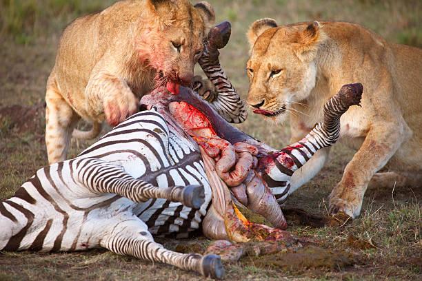 Two female lions tearing dead zebra stock photo