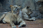 Two Female Lions, Two Lionesses