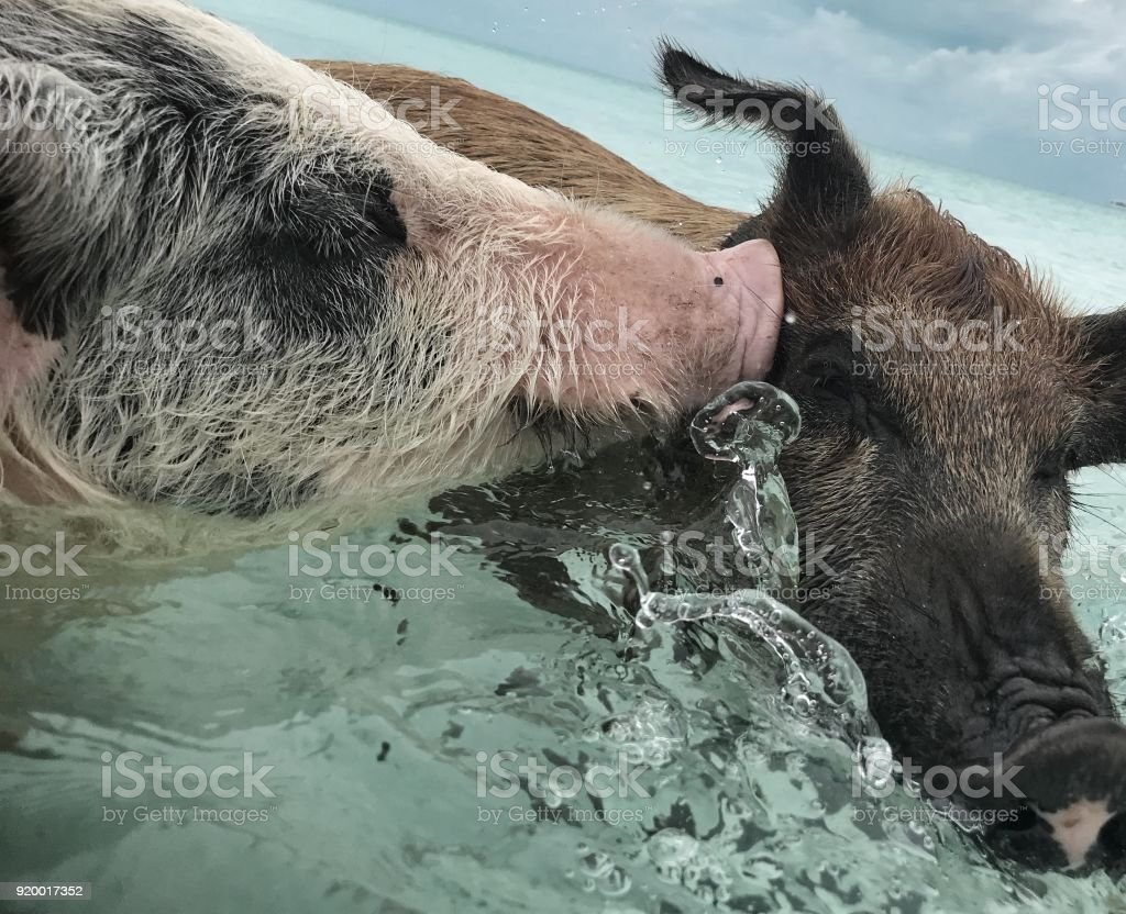 Two Feral Swimming Pigs Of Exuma On The Bahamian Pig Island