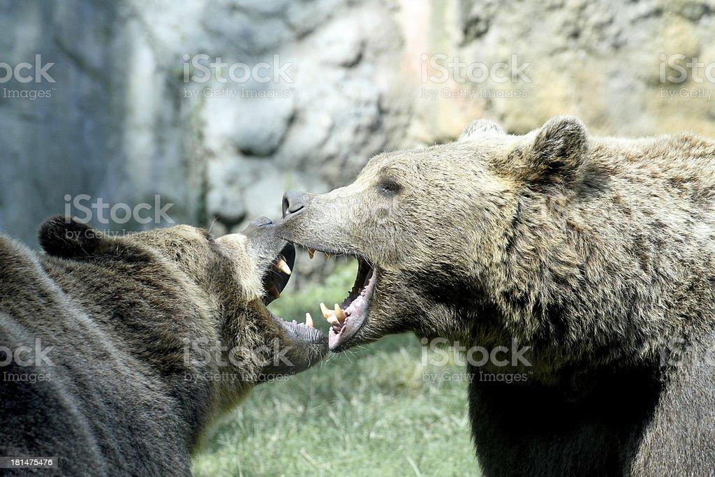 two ferocious bears struggle with mighty bites stock photo