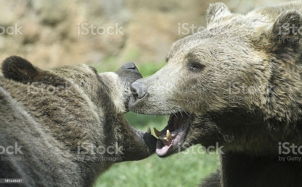 two ferocious bears struggle with powerful shots stock photo