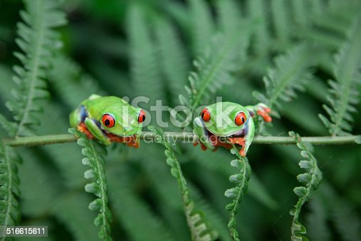 Two Ffrogs on a plant in their natural environment