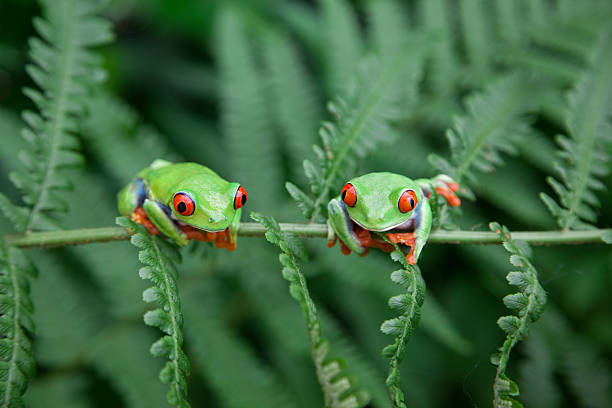 Two Ffrogs on a plant in their natural environment stock photo