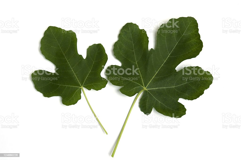 Two Fig Leaves stock photo