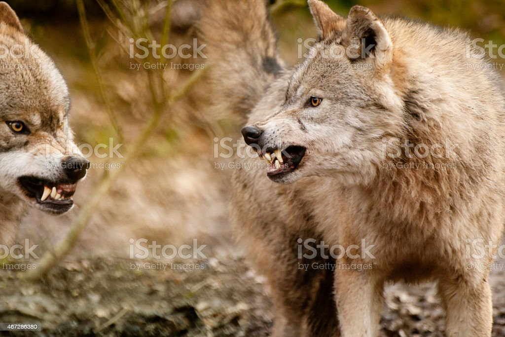 Two fighting brown Eurasian wolves outdoors stock photo
