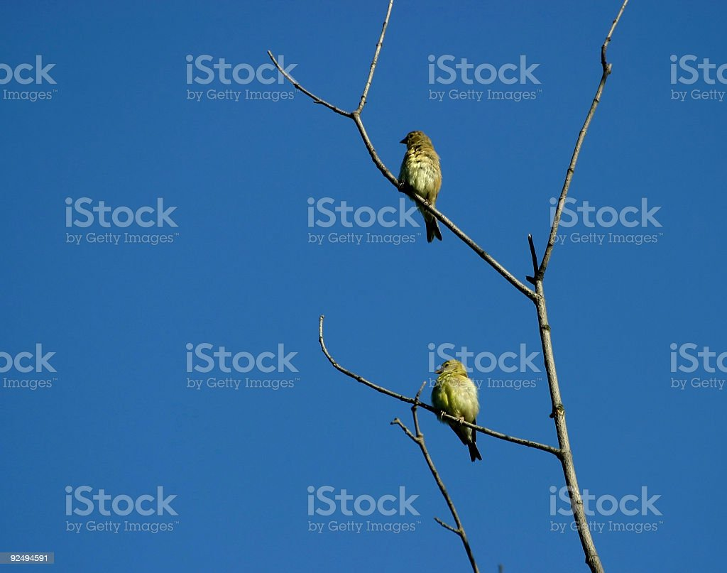 Two Finches royalty-free stock photo