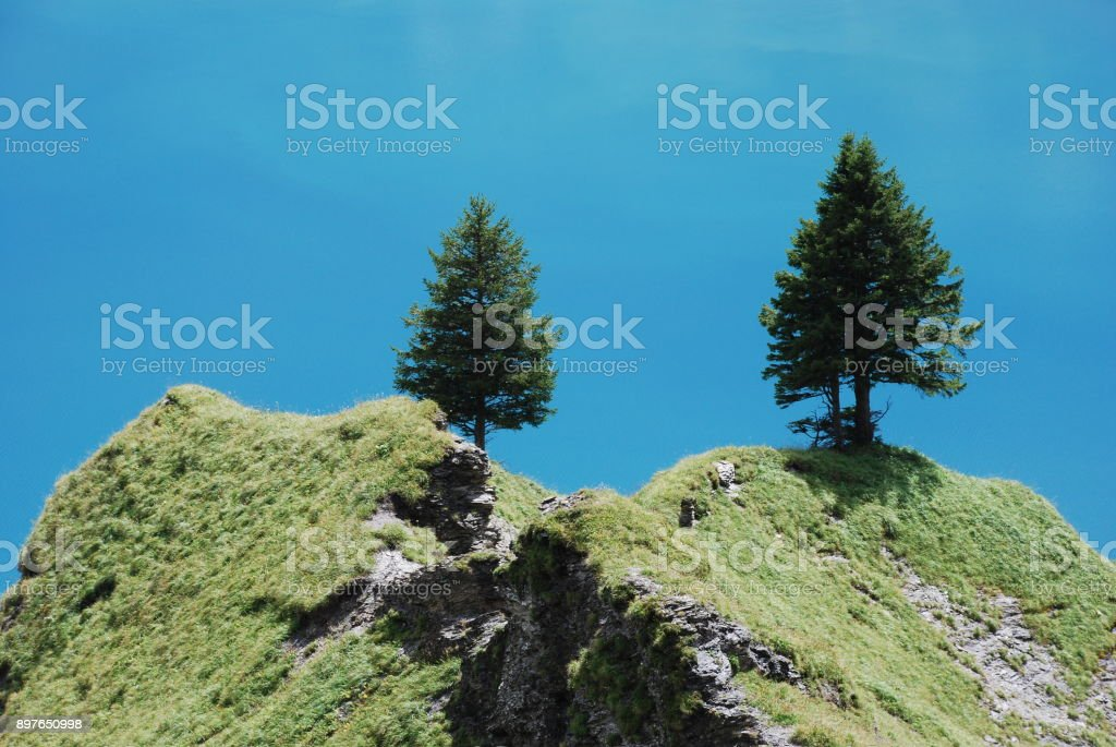 Two fir tree and blue background stock photo