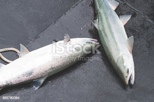 istock Two fish laying on deck of boat 855780094