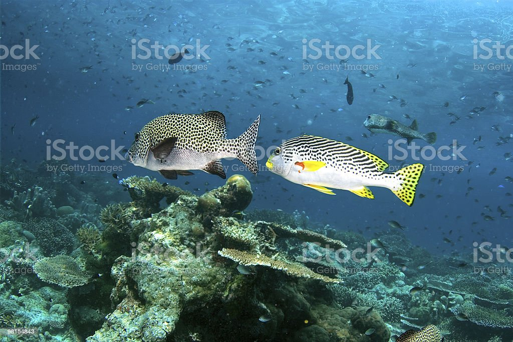 Two fishes (Black spotted sweetlips) in ocean. royalty-free stock photo