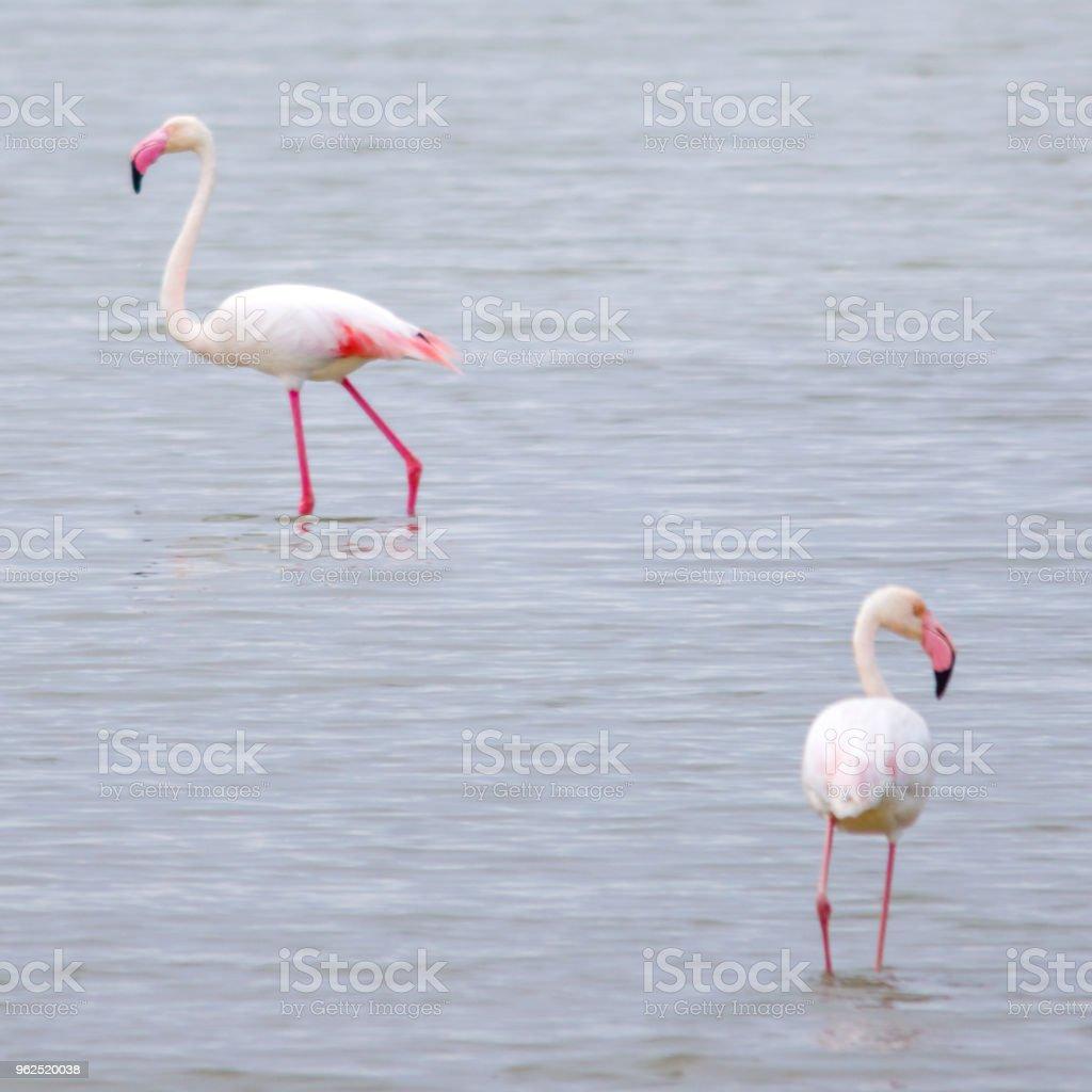 dois flamingos (Phoenicopterus roseus) no delta del Ebro. Espanha - Foto de stock de Animal selvagem royalty-free