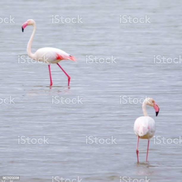 Foto de Dois Flamingos No Delta Del Ebro Espanha e mais fotos de stock de Animal selvagem