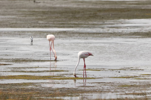 Two flamingoes walking through the water stock photo