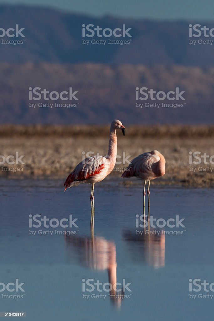two flamingos in the lake stock photo