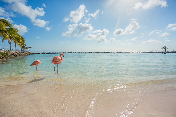 two flamingos on the beach - aruba stockfoto's en -beelden