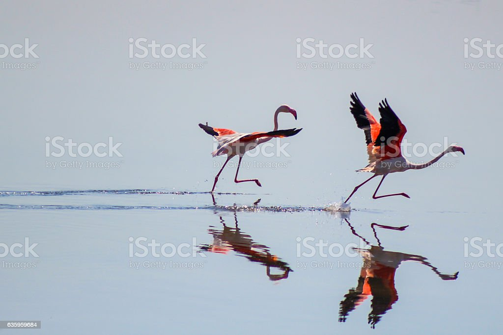 Two Flamingos starting to run to fly stock photo