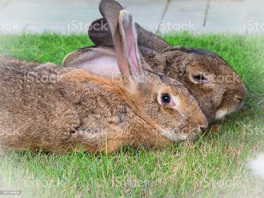 Two Flemish Giant Rabbit In Garden Stock Photo Download