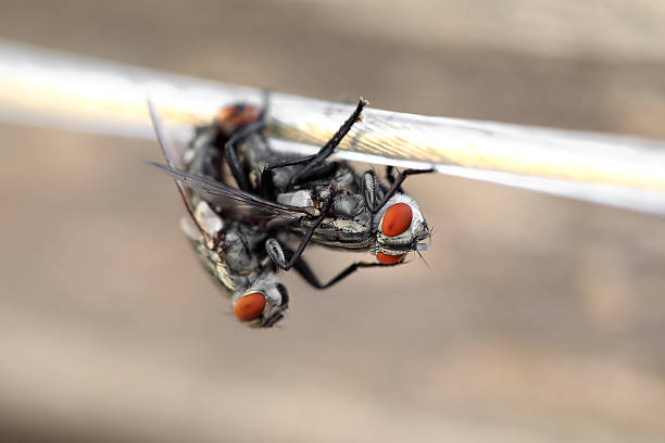 Two flies having sex on a rope. Macro. Selective focus stock photo